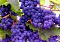 Как мякоть винограда и сок используются в народной косметике