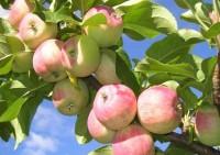 Польза яблок: советы диетологов