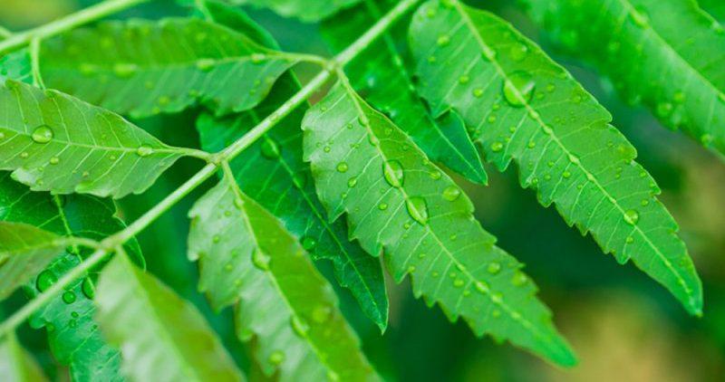 Чем помогают при похудении листья нима