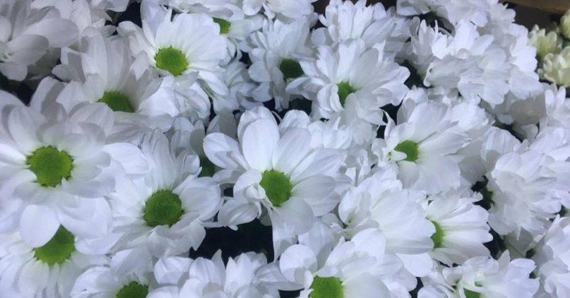 Чем так уникальны хризантемы