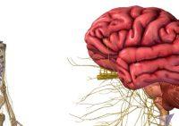Центральная нервная система – как устроена и работает ЦНС?