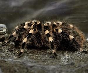 Хроническую боль вылечит яд тарантулов
